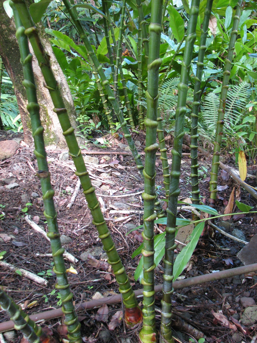 Photo# 16096 - Costus guanaiensis var. tarmicus at Wamea Gardens, Hawaii