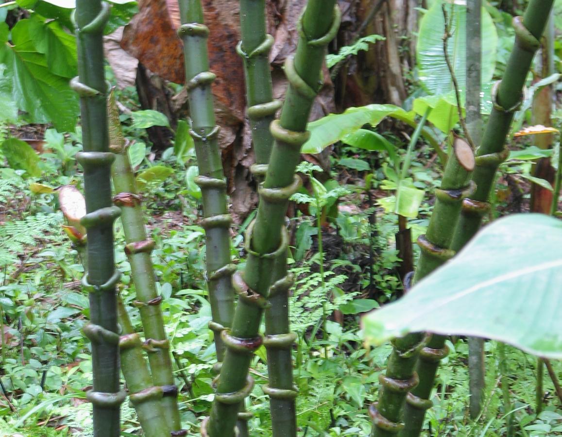 Photo# 16105 - Costus guanaiensis var. tarmicus at Rio Guaycuyacu, Ecuador