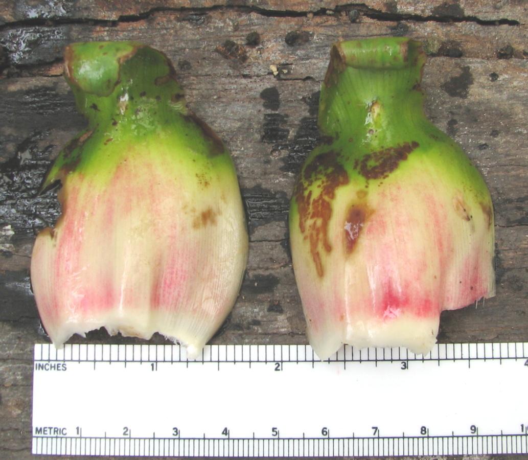 Photo# 16107 - Costus guanaiensis var. tarmicus at Rio Guaycuyacu, Ecuador