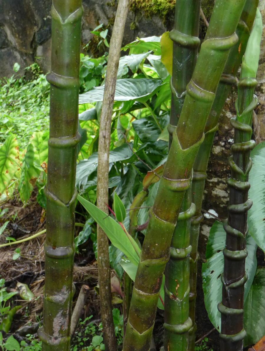 Photo# 16114 - Costus guanaiensis var. tarmicus at Carla Black garden in Panama