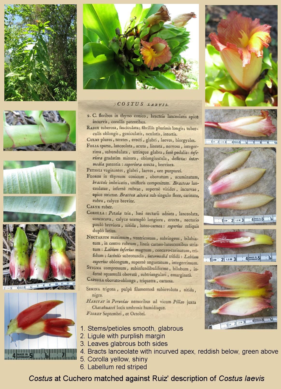Photo# 17982 - Matching description to photos of Cuchero plant