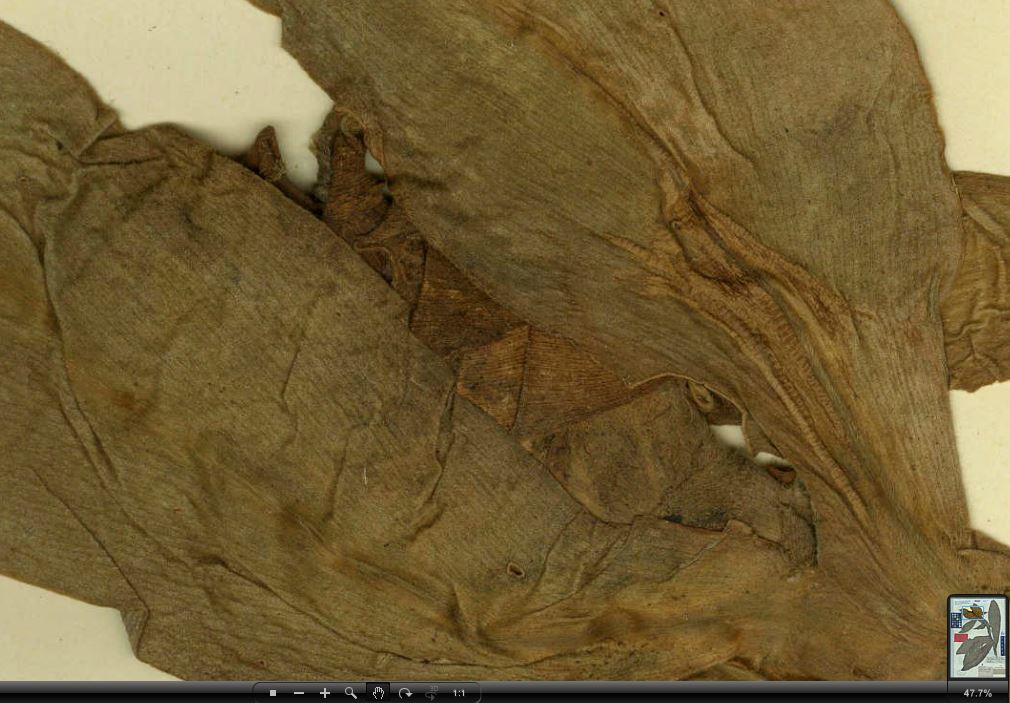 Photo# 16731 - Costus laevis holotype at Barcelona, Spain herbarium, bract detail (hidden by leaves)
