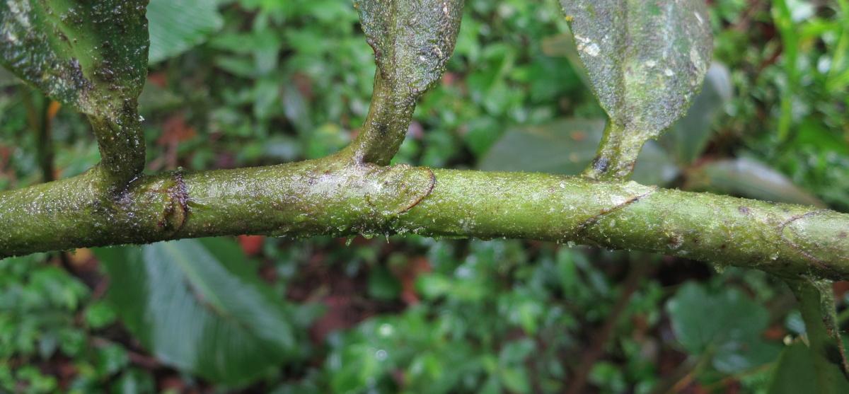 Photo# 16733 - Costus laevis ligules and petioles at Cerro Gaital, Panama