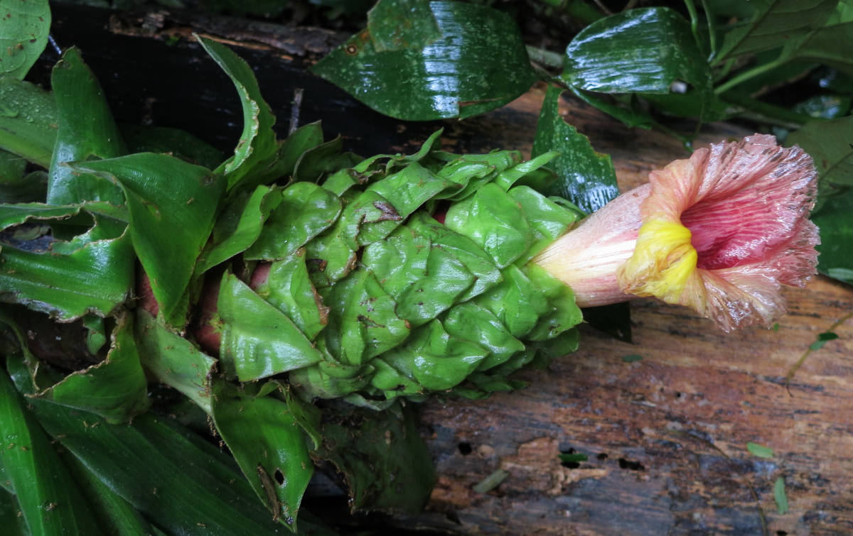 Photo# 16141 - Costus guanaiensis at Pantiacolla, Manu area, Peru