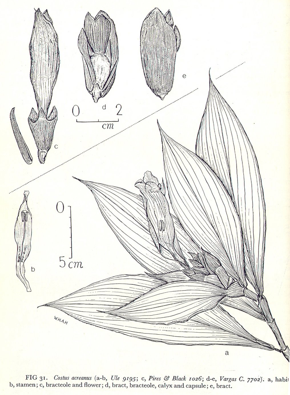 Photo# 17528 - Costus acreanus - the illustration in Maas' monograph shows appendaged bracts on full inflorescence, non-appendaged bracts in illustration part