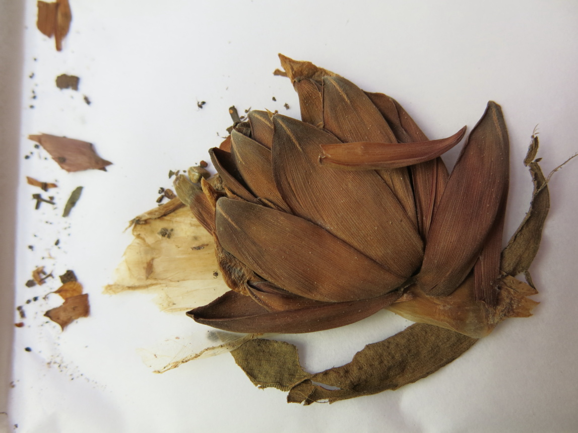 Photo# 15847 - Costus acreanus, Duarte #7146 - Herbarium at Jardim Botanico