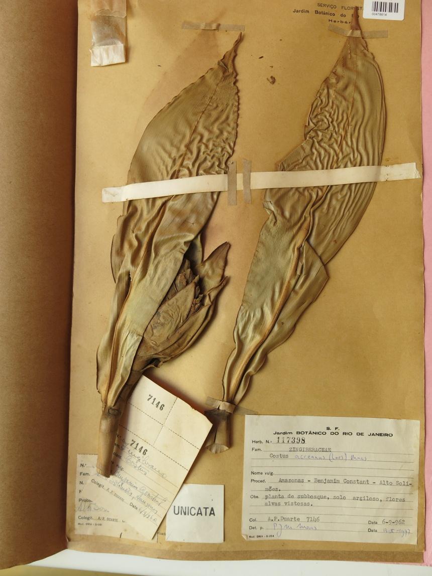 Photo# 15849 - Costus acreanus, Duarte #7146 - Herbarium at Jardim Botanico