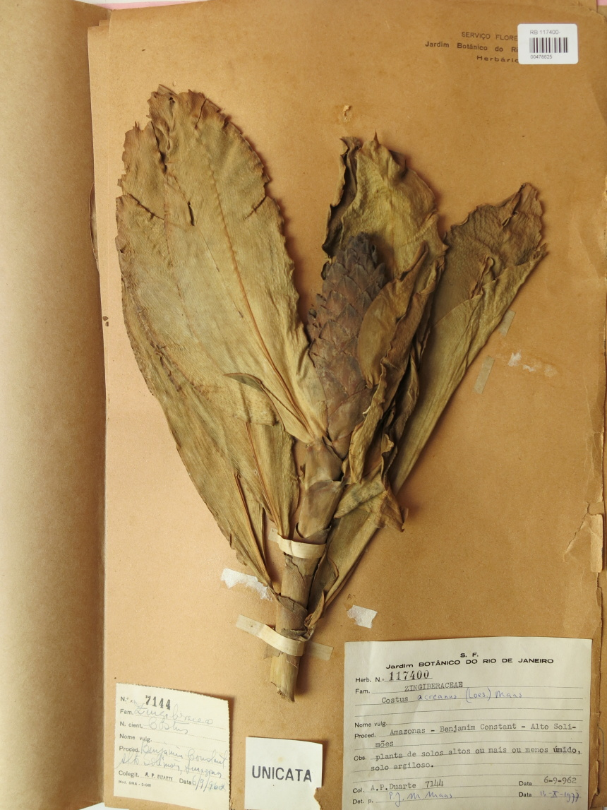 Photo# 15851 - Costus acreanus, Duarte #7144 - Herbarium at Jardim Botanico