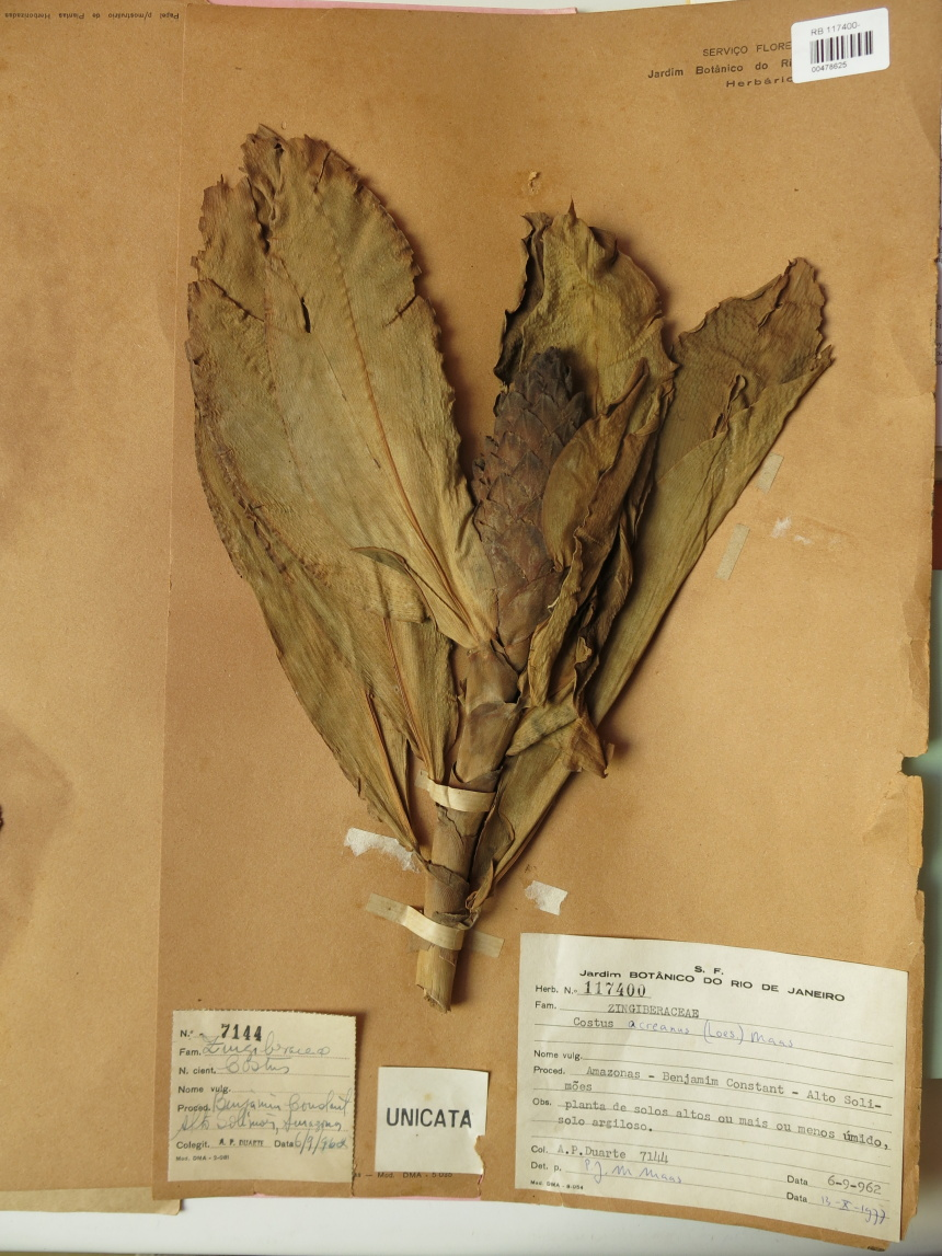 Photo# 15853 - Costus acreanus, Duarte #7144 - Herbarium at Jardim Botanico