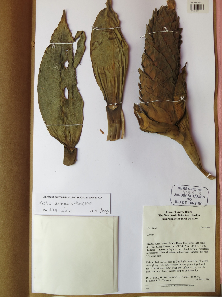 Photo# 15858 - Costus acreanus, Daly et al #9990 - Herbarium at Jardim Botanico