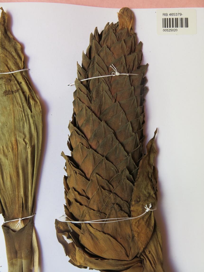 Photo# 15859 - Costus acreanus, Daly et al #9990 - Herbarium at Jardim Botanico