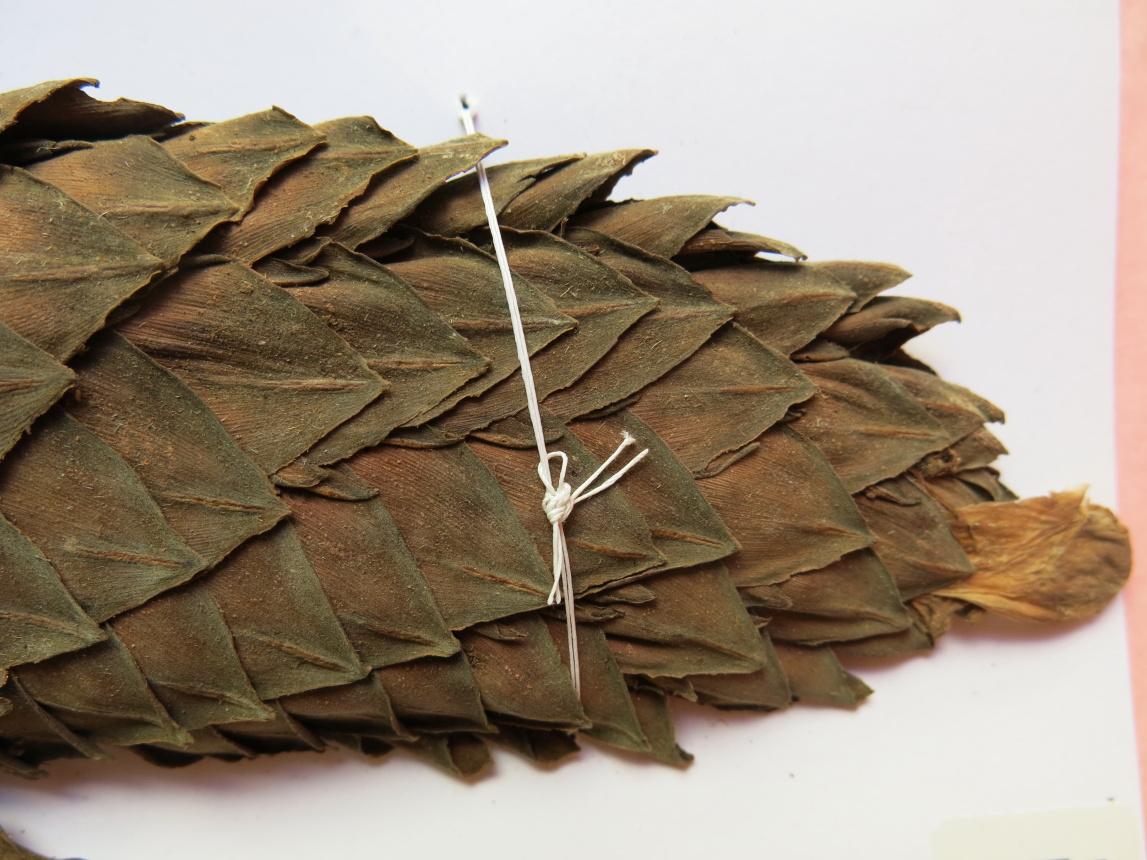 Photo# 15860 - Costus acreanus, Daly et al #9990 - Herbarium at Jardim Botanico