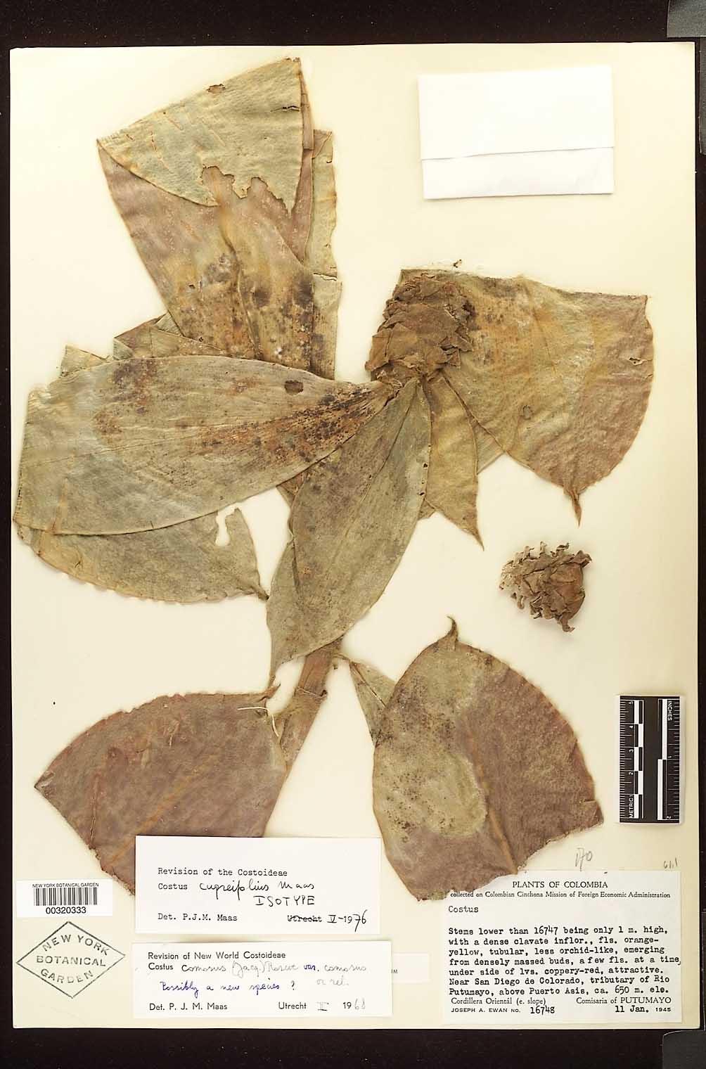 Photo# 17699 - Costus cupreiflius isotype at NYBG