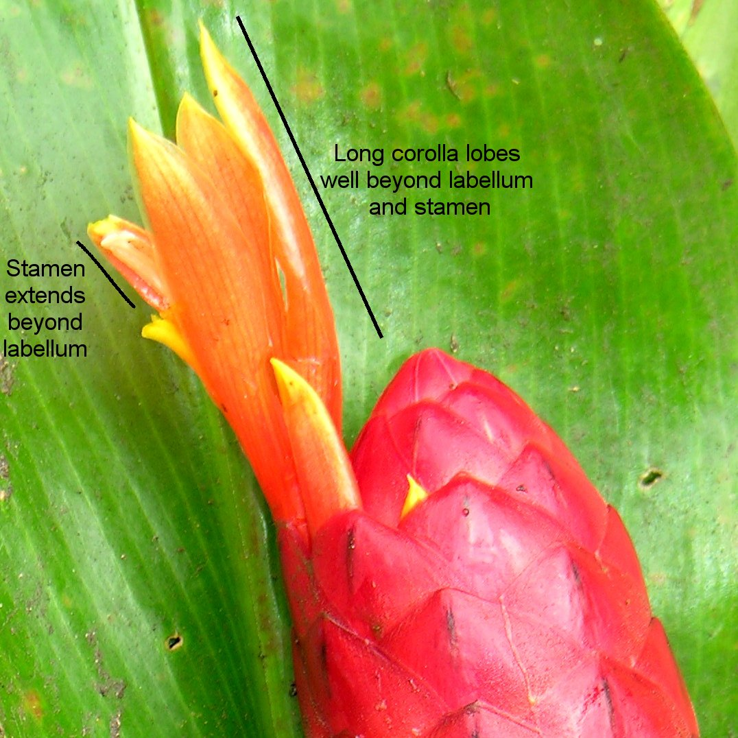 Photo# 15861 - Costus geothyrsus, from Hacienda Clementina, Ecudor.  Photo by Bertil Stahl