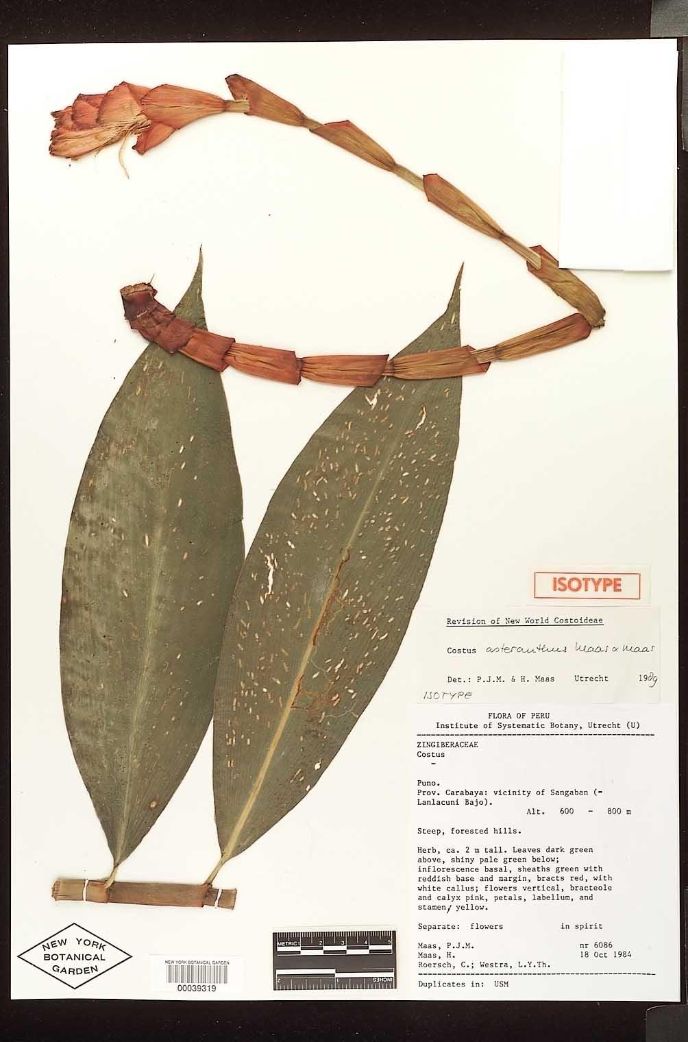 Photo# 17700 - Costus asteranthus isotype at NY Botanical Garden