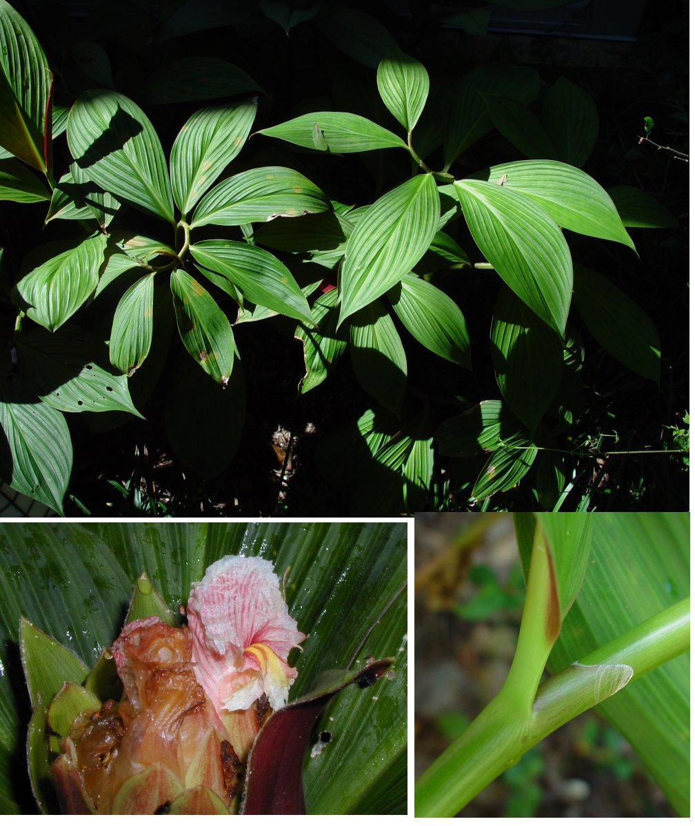Photo# 16163 - Costus erythrophyllus 'Silver Leaf' cultivar registry photo