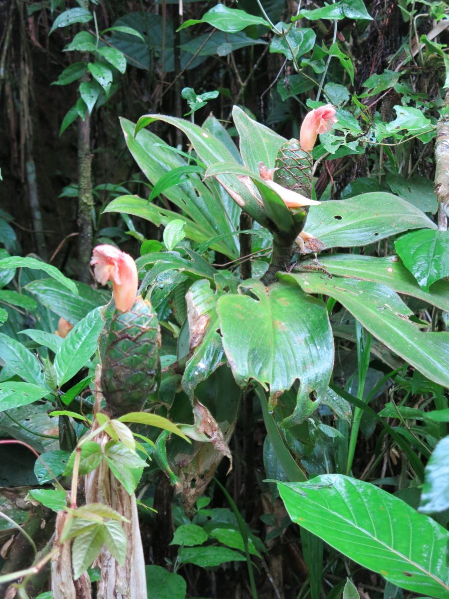 Photo# 17532 - Costus amazonicus subsp. amazonicus,  terminal flowering form near Tundayme, Zamora Chinchipe, Ecuador