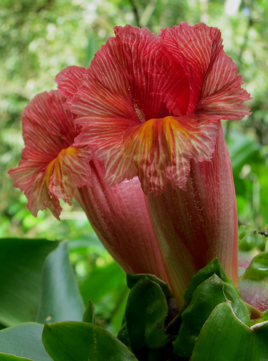 Photo# 16171 - Costus guanaiensis all red flowers, from Manu Learning Center, Peru