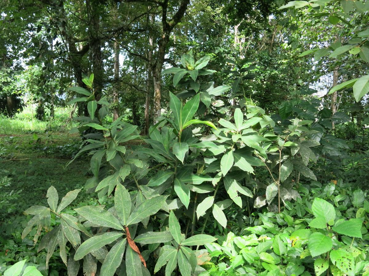 Photo# 17997 - Costus laevis (maximus form) at CATIE near Turrilaba, Costa Rica