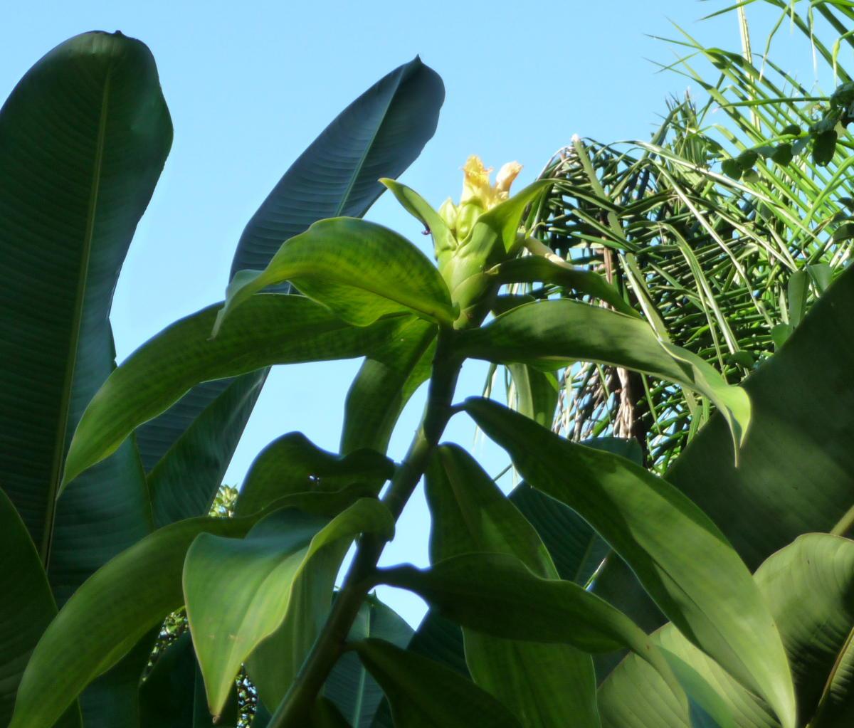 Photo# 16198 - Costus guanaiensis var. guan. - origin unknown