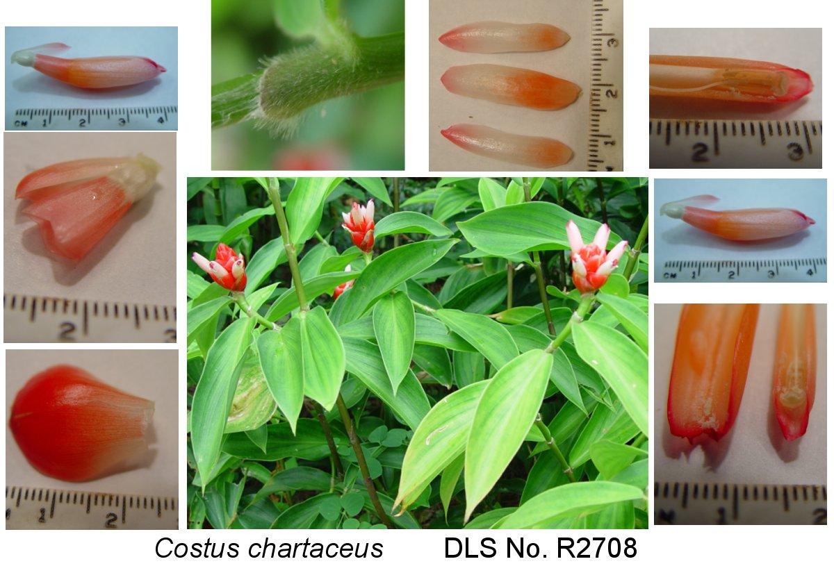 Photo# 17835 - Costus chartaceus  voucher photo