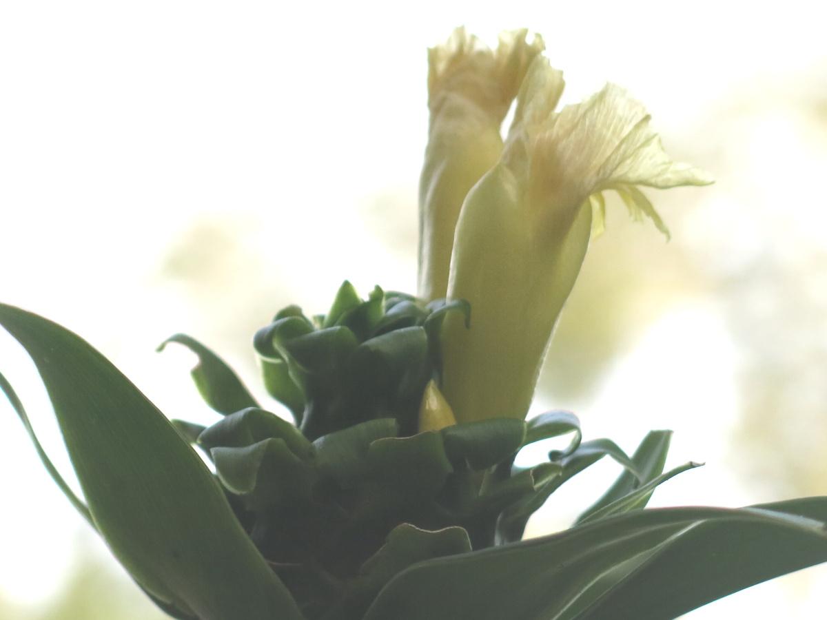 Photo# 16205 - Costus guanaiensis var. tarmicus