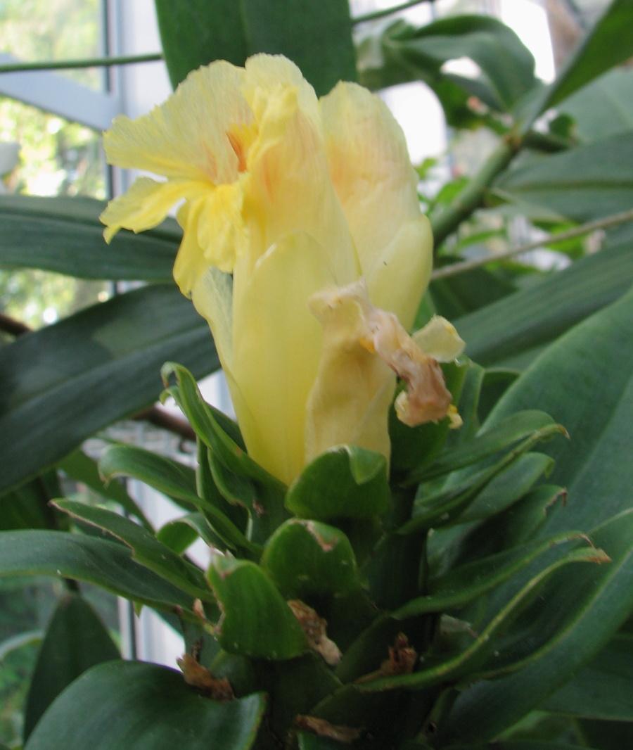 Photo# 16206 - Costus guanaiensis var. tarmicus