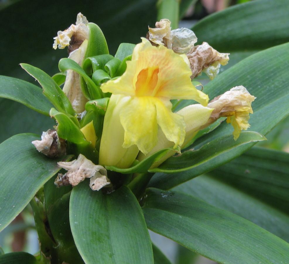 Photo# 16207 - Costus guanaiensis var. tarmicus