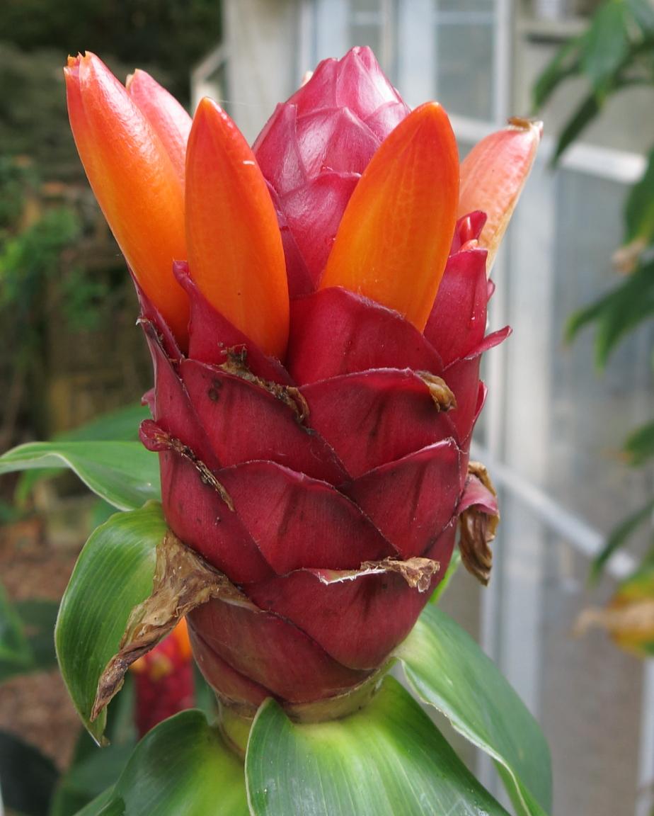 Photo# 15636 - Costus 'Peruvian Pineapple'