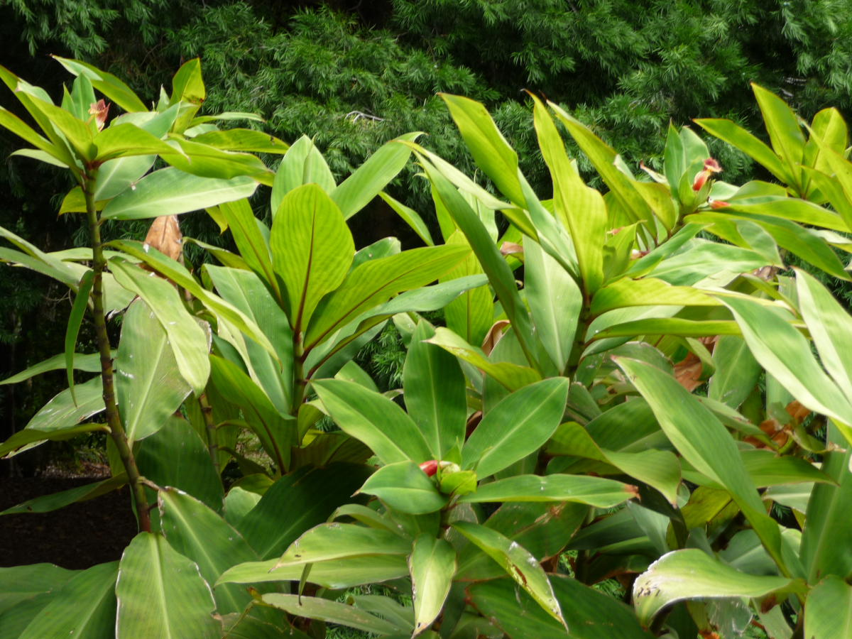 Photo# 16815 - Costus laevis from Shiroles, Costa Rica, photo John Mood garden