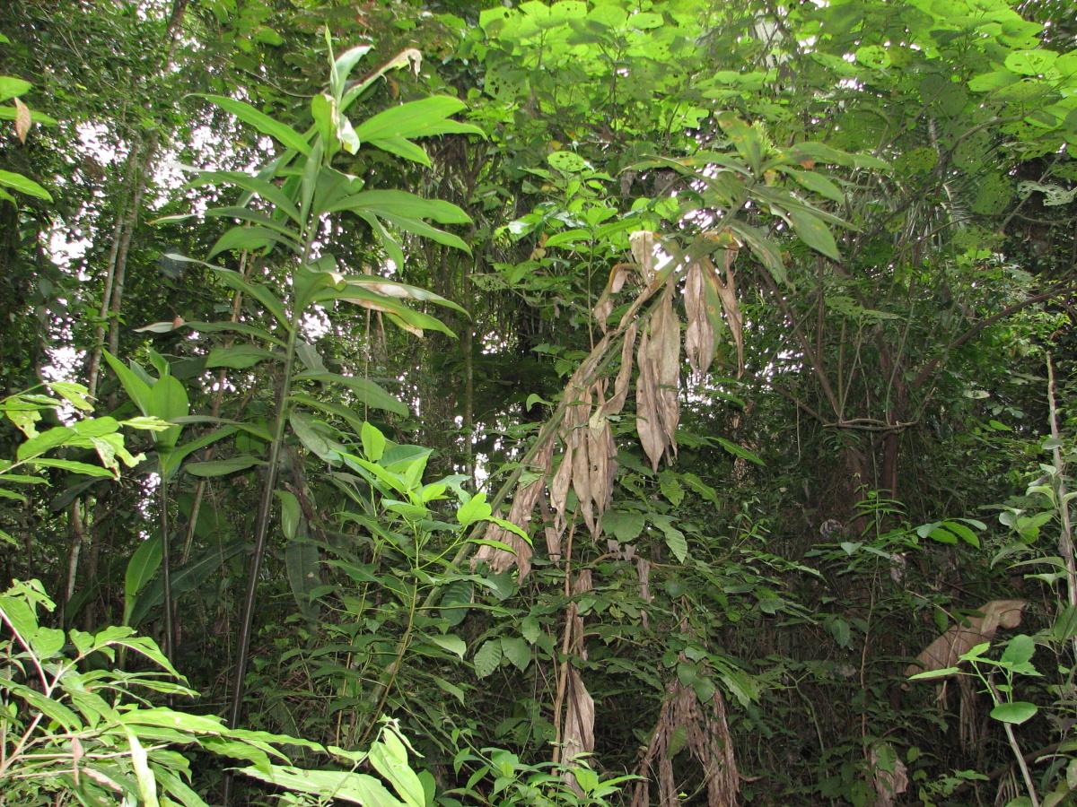 Photo# 16215 - Costus guanaiensis var. guan. from Juaneche Reserve, Ecuador