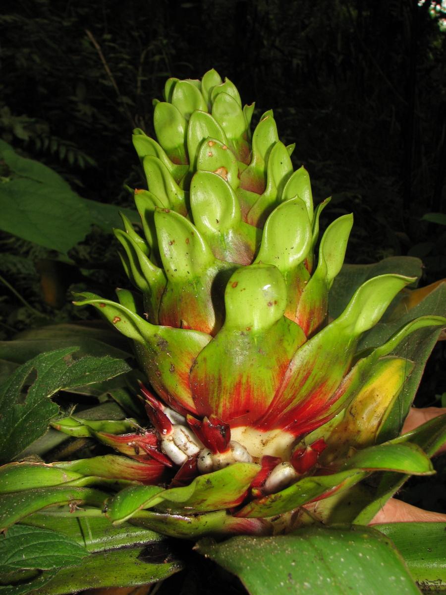 Photo# 16217 - Costus guanaiensis var. guan. from Juaneche Reserve, Ecuador