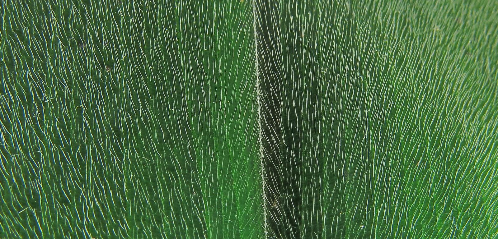 Photo# 18010 - Costus guanaiensis var. guanaiensis -  Jauneche, Ecuador, leaf hairs upper side