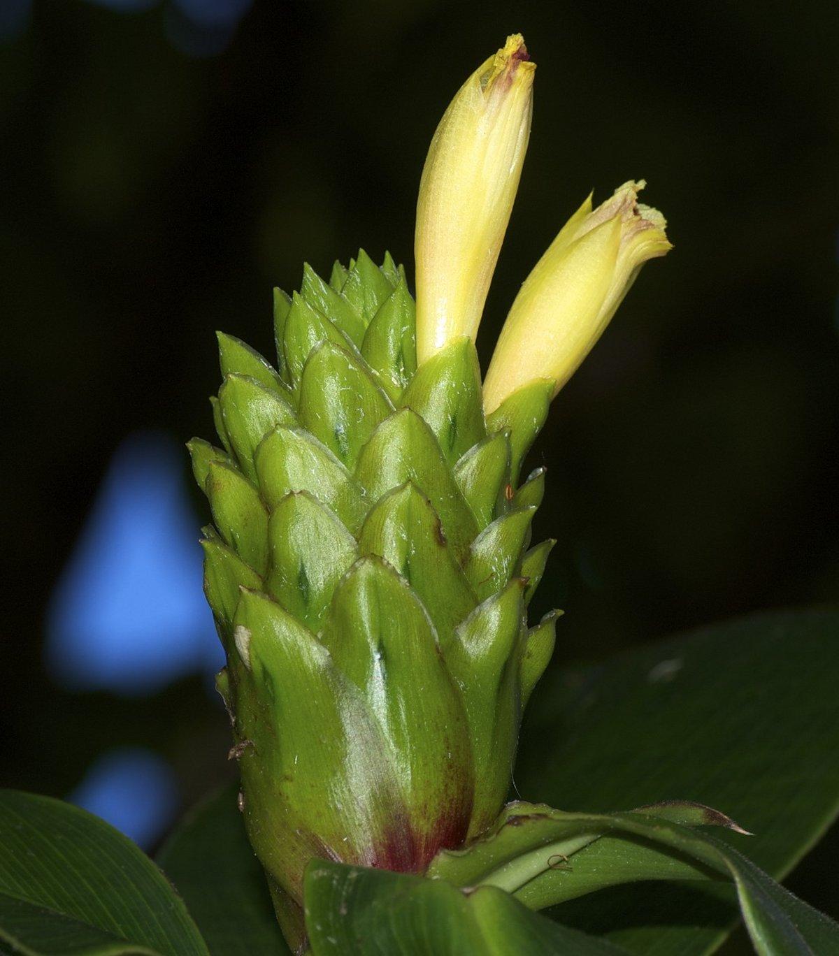 Photo# 16232 - Costus aff. guanaiensis from Reserva Bilsa, at John Mood garden