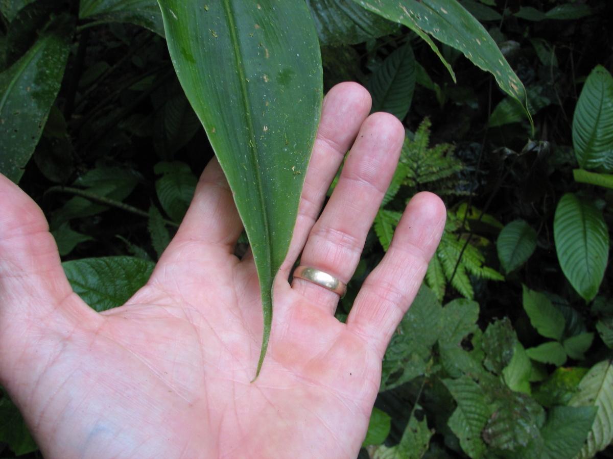 Photo# 16844 - Costus laevis leaf apex at Reserva Bilsa, Ecuador