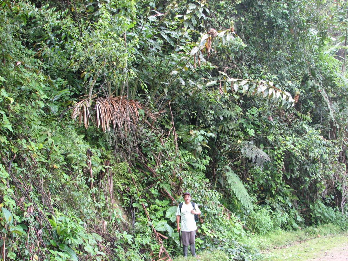 Photo# 16245 - Costus aff. asplundii, Nangaritza Form, from near Guayzimi