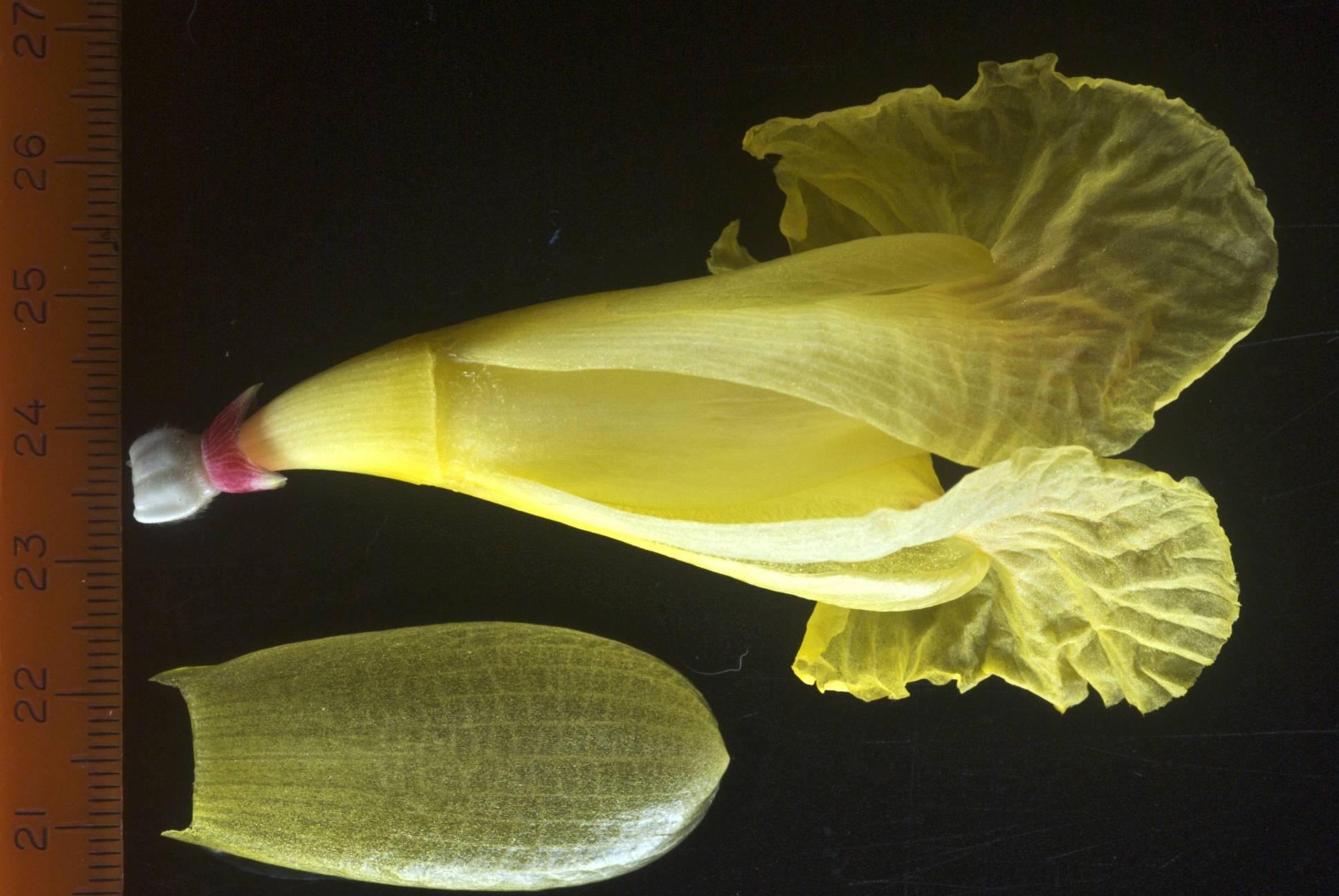 Photo# 15671 - Costus 'Mellow Yellow' - photos by John Mood
