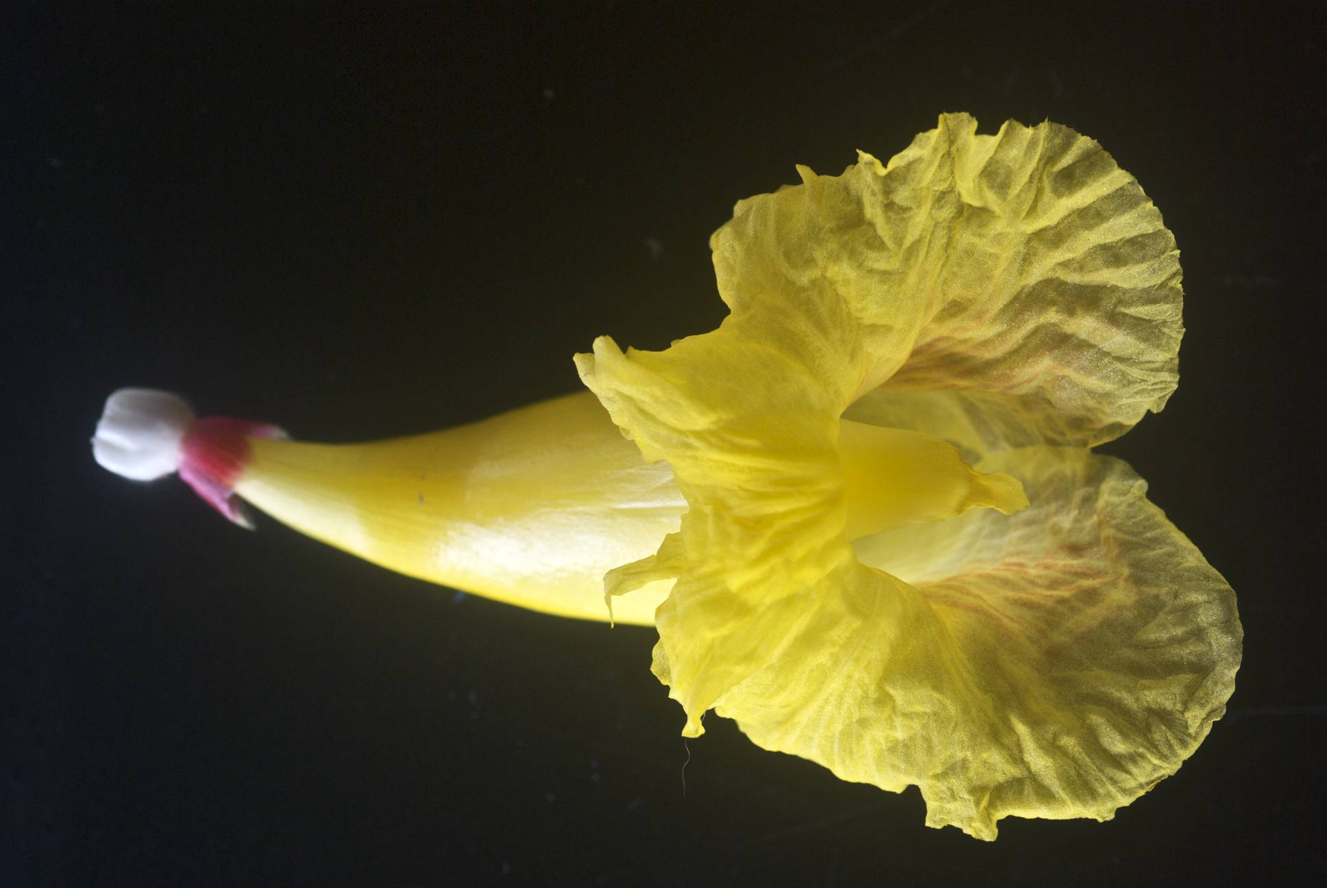 Photo# 15676 - Costus 'Mellow Yellow' - photos by John Mood