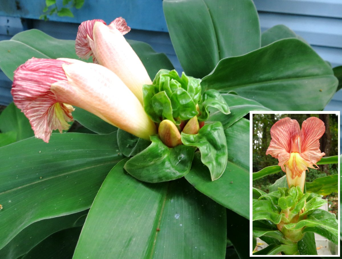 Photo# 16281 - Costus guanaiensis 'Emerald Crinkles' from Rio Mazon, cultivar registry photo