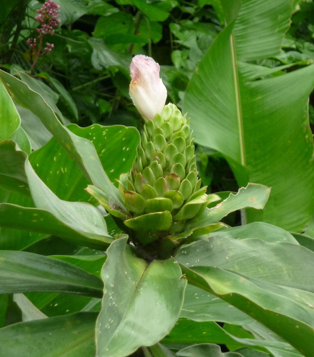 Photo# 16287 - Costus guanaiensis var. guan. from La Fortuna, Panama