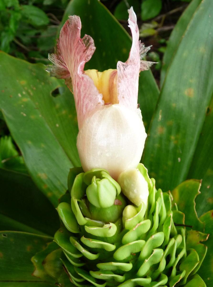 Photo# 16288 - Costus guanaiensis var. guan. from La Fortuna, Panama