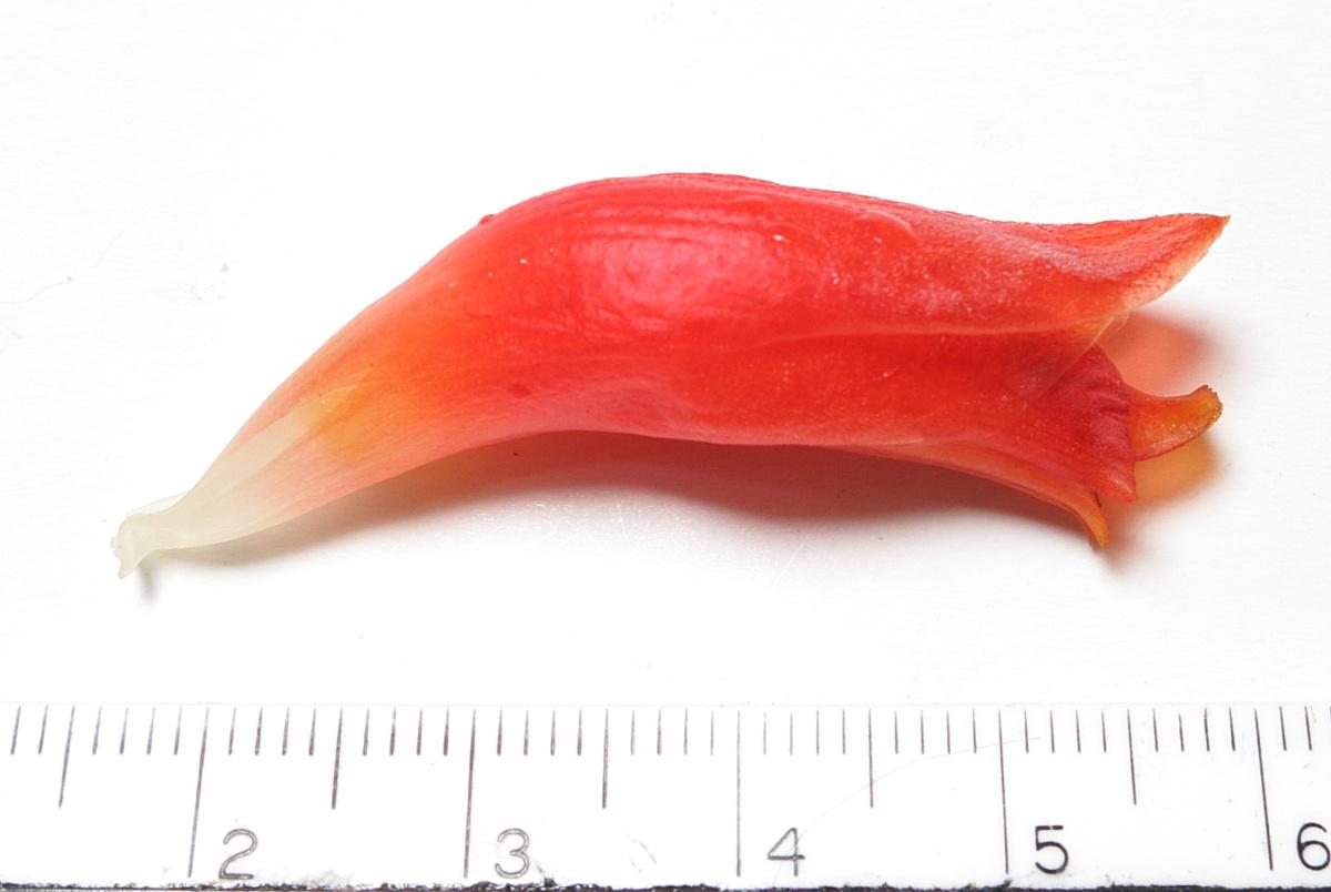 Photo# 15986 - Costus 'Mongrel' flower