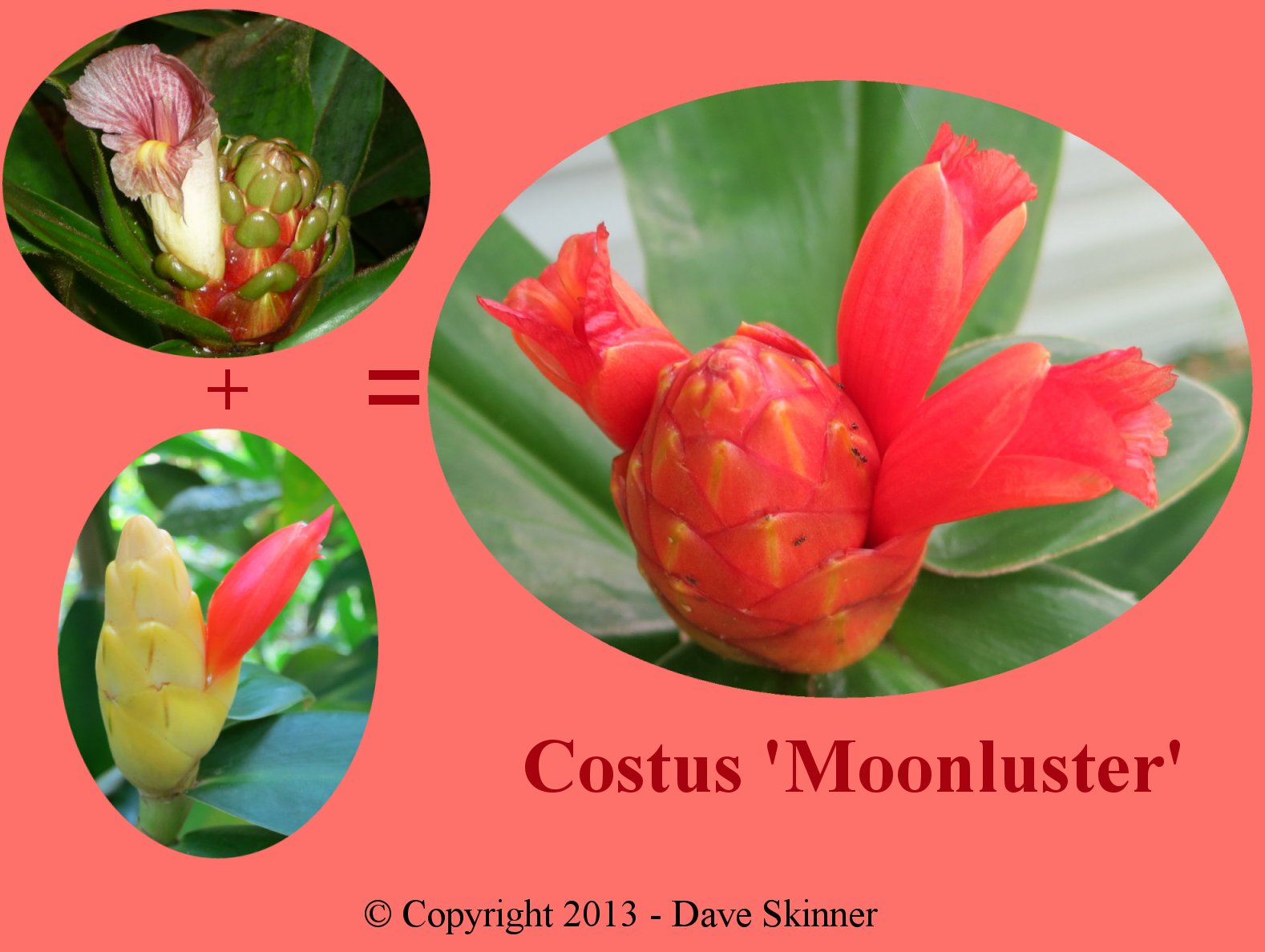 Photo# 15699 - Costus 'Moonluster' - showing the two parent plants for this hybrid