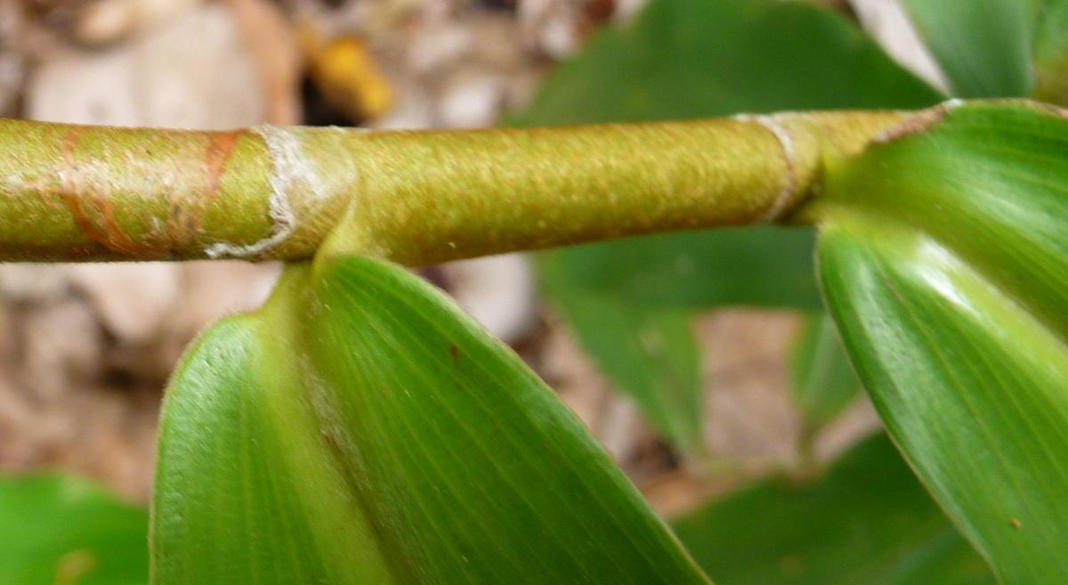 Photo# 17172 - Costus ricus from Cerro Nara, Costa Rica