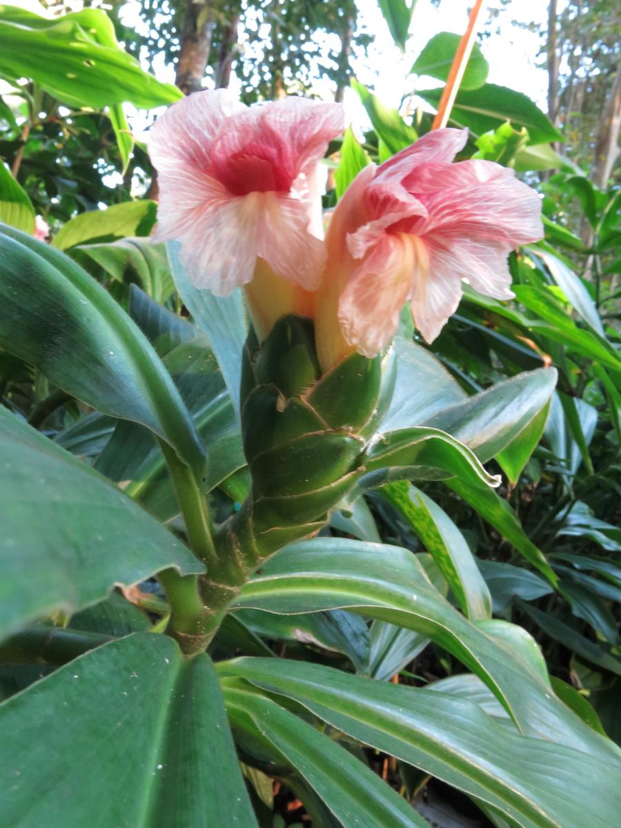 Photo# 16296 - Costus amazonicus subsp. amazonicus from Rio Pastaza, Ecuador