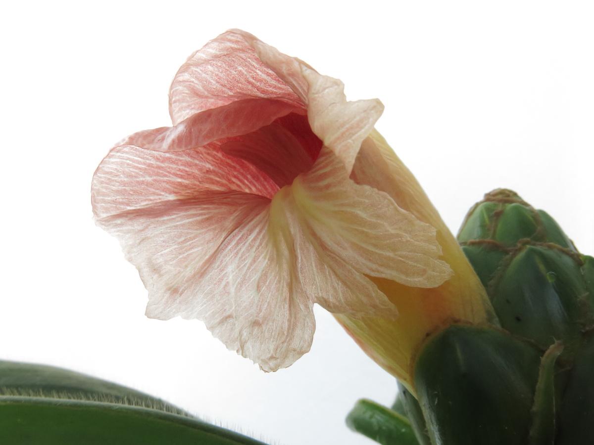 Photo# 16297 - Costus amazonicus subsp. amazonicus from Rio Pastaza, Ecuador