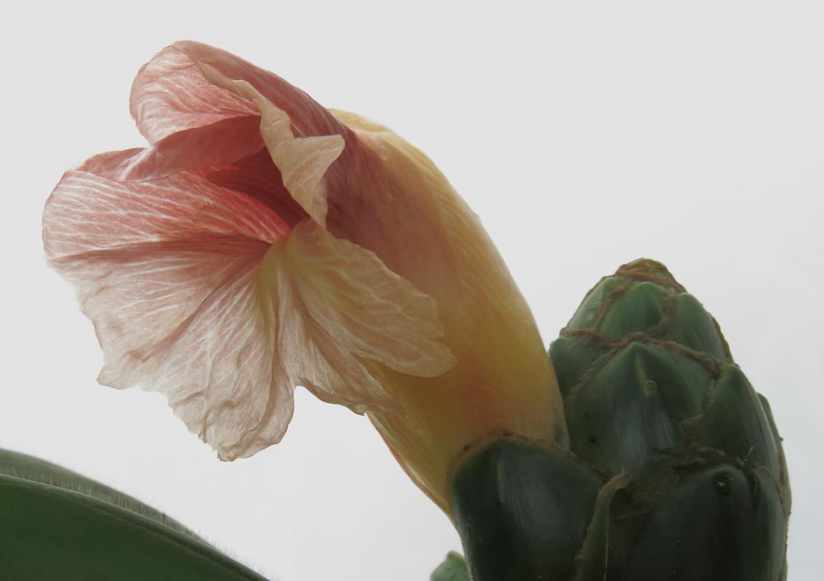Photo# 17542 - Costus amazonicus subsp amazonicus from Rio Pastaza, Ecuador