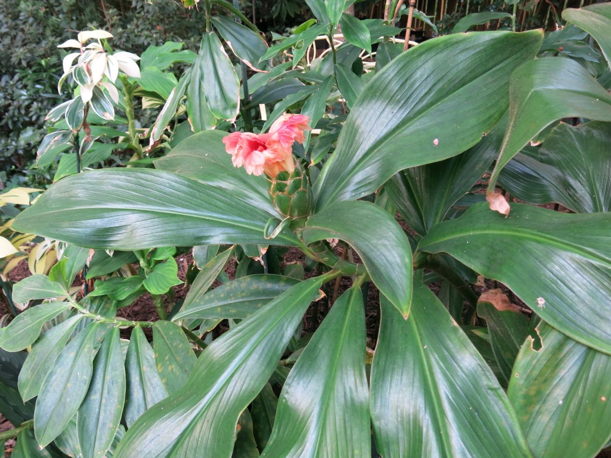 Photo# 17543 - Costus amazonicus subsp amazonicus from Rio Pastaza, Ecuador