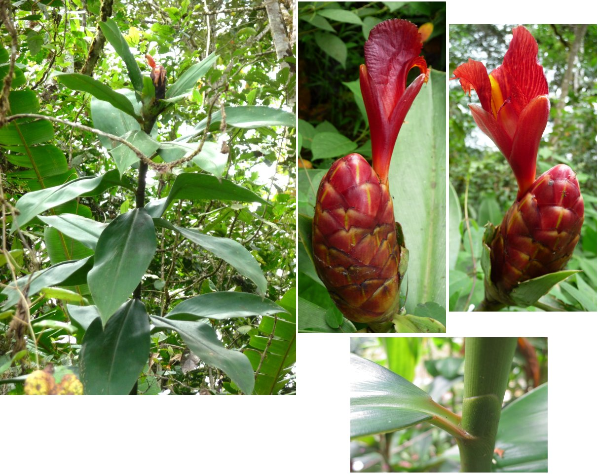 Photo# 16918 - Costus laevis 'Lita Red', Lita, Ecuador, cultivar registry photo