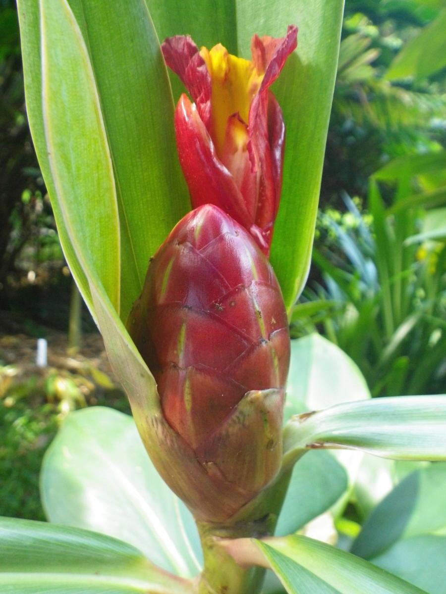 Photo# 16919 - Costus laevis 'Lita Red', Lita, Ecuador at John Mood garden